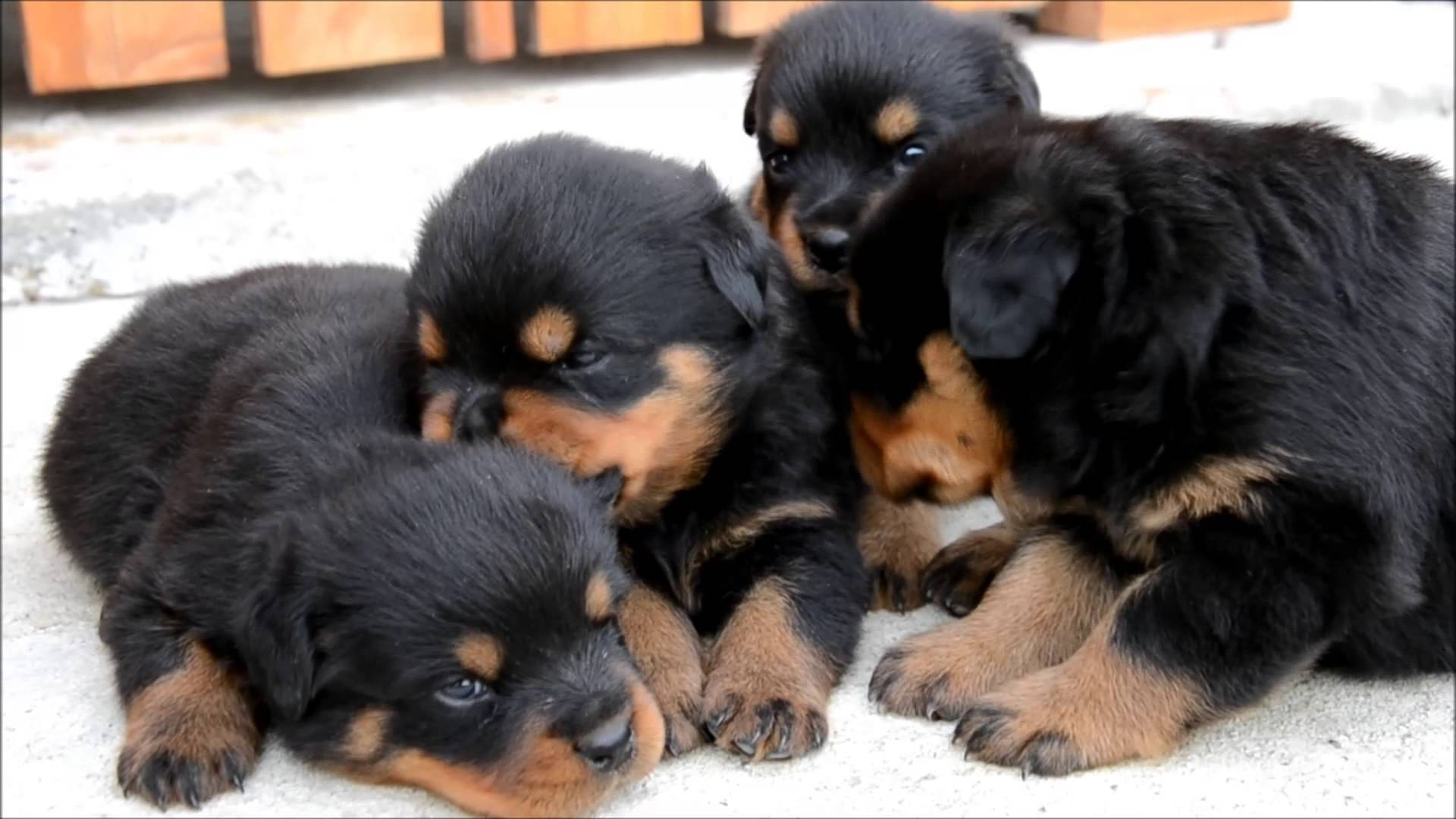 Rottweiler Is Able To Suffer In All Types Of Climate Best Shopping