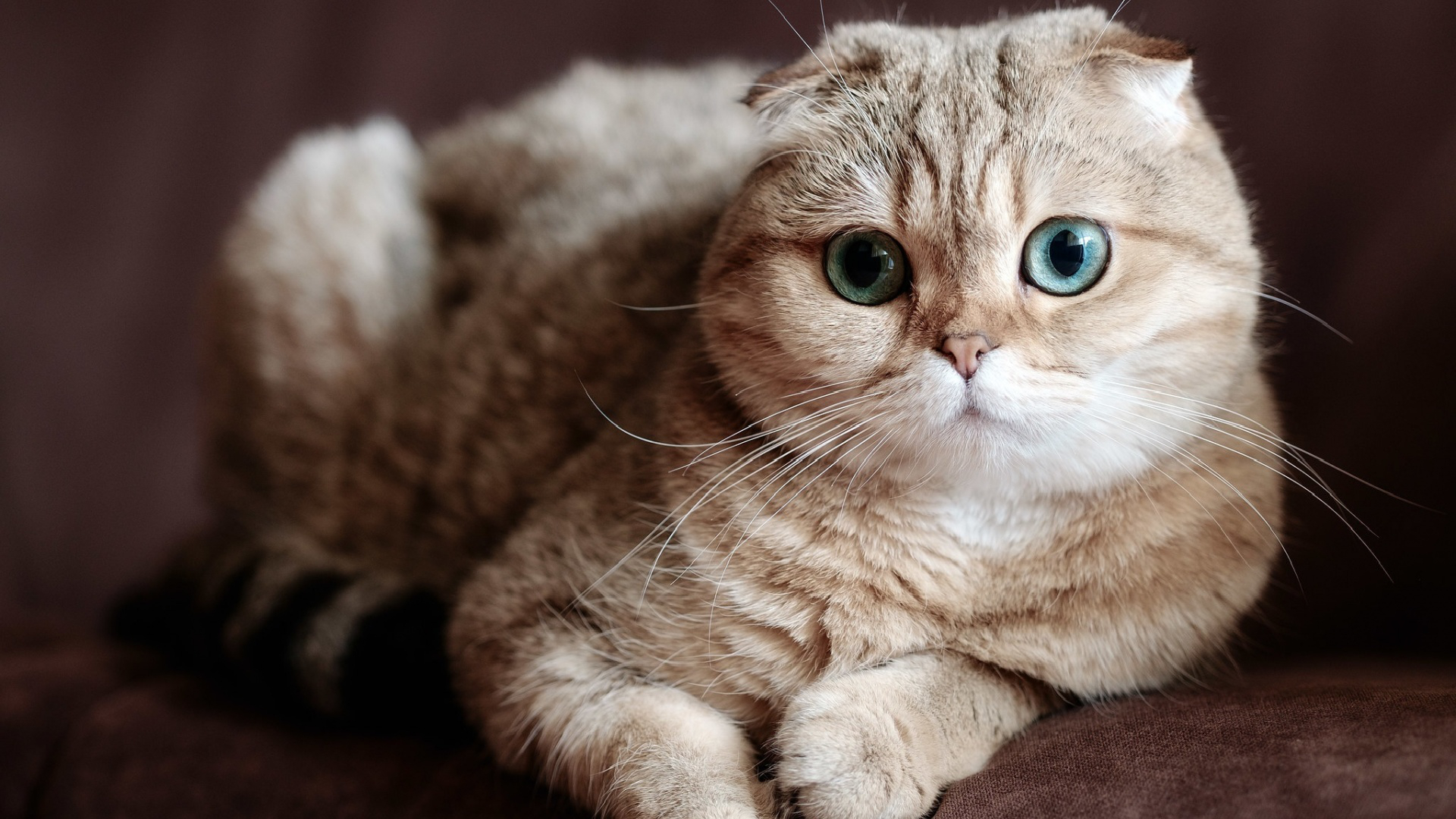 Information Regarding the Scottish Fold Cat