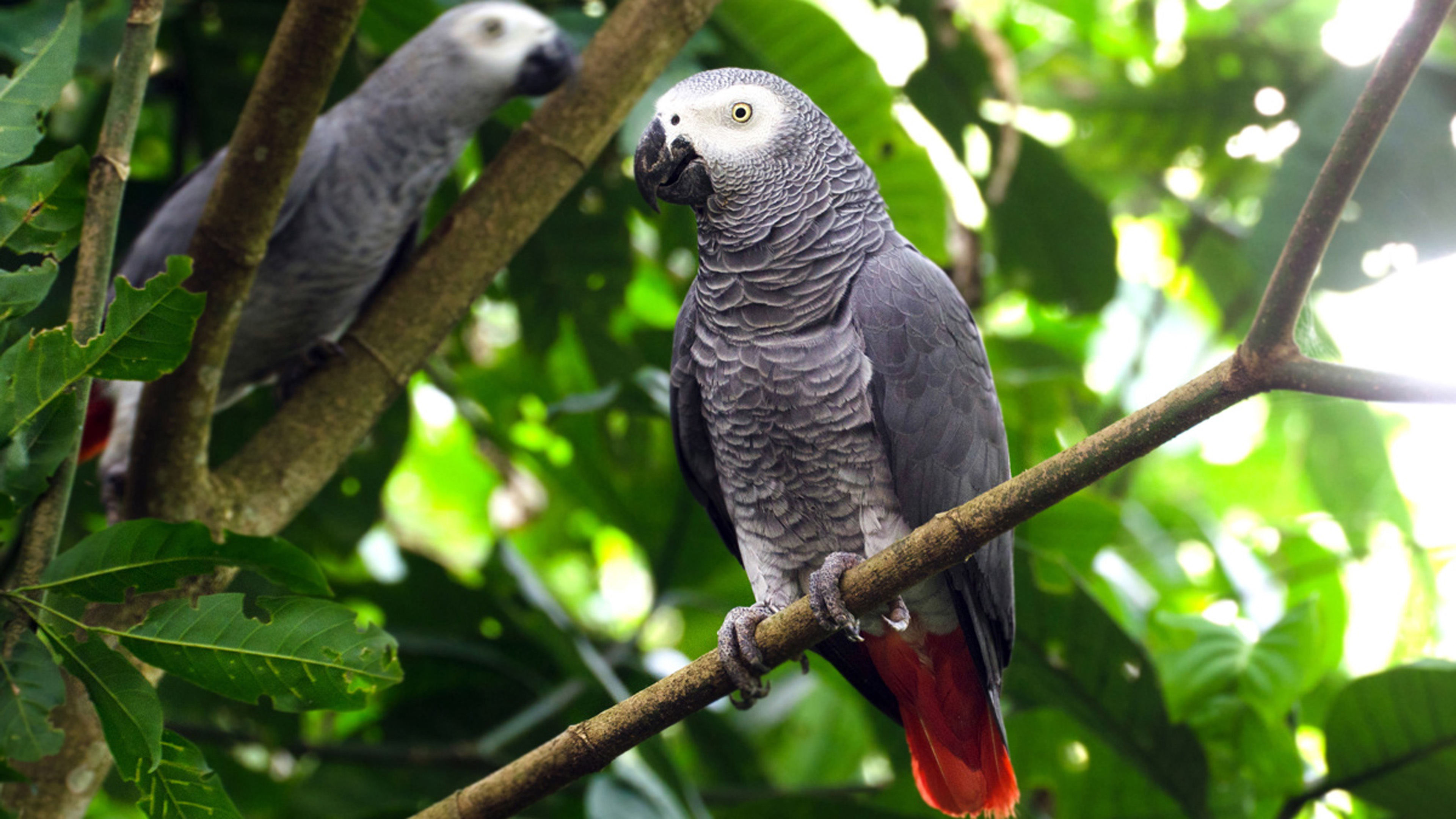 African Grey Parrots For Sale Near Me