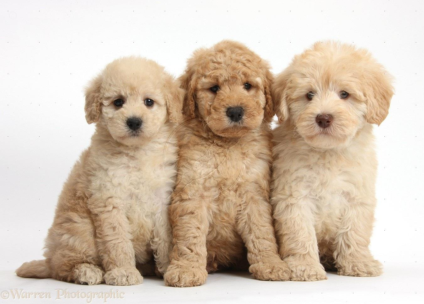 Everything You Need to Know About the Goldendoodles!